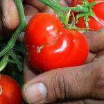 В Яловенах обнаружена томатная моль, способная погубить весь урожай