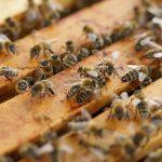 В Молдове зарегистрирован случай европейского гнильца у пчёл и 5 новых случаев бешенства