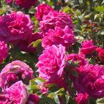 Розы - на первом месте: какие цветы импортирует Молдова (ИНФОГРАФИКА)