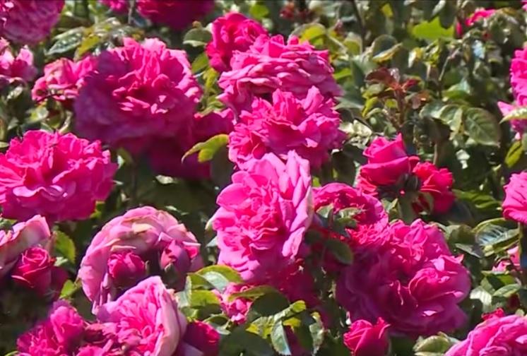 Переселенцы из Молдовы создали в России питомник роз (ВИДЕО)