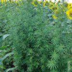 200 кустов конопли обнаружили растущими среди подсолнухов (ВИДЕО)