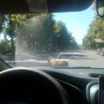 Необычный пешеход: в Кишиневе по дороге разгуливала овца (ФОТО)