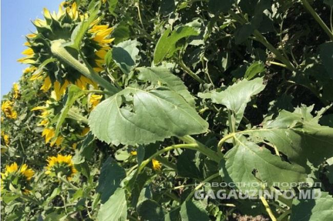 В Гагаузии ущерб сельскохозяйственного сектора от дождей с градом составил 14 миллионов леев
