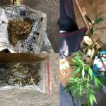 Житель Крикова выращивал дома в горшках марихуану (ВИДЕО)