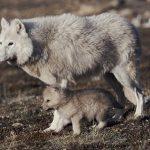 В столичном зоопарке родились малыши: 4 полярных волчат и венгерский бык уже знакомятся с посетителями