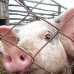 В Джурджулешть зарегистрирована вспышка африканской чумы свиней
