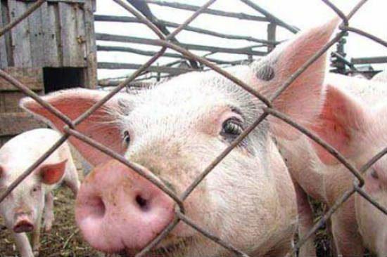 Вспышка африканской чумы свиней была обнаружена в Хынчештском районе