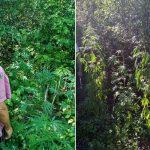 Житель Брынзень выращивал более 80 кустов конопли высотой в 1,5 метра «для личного использования» (ФОТО)