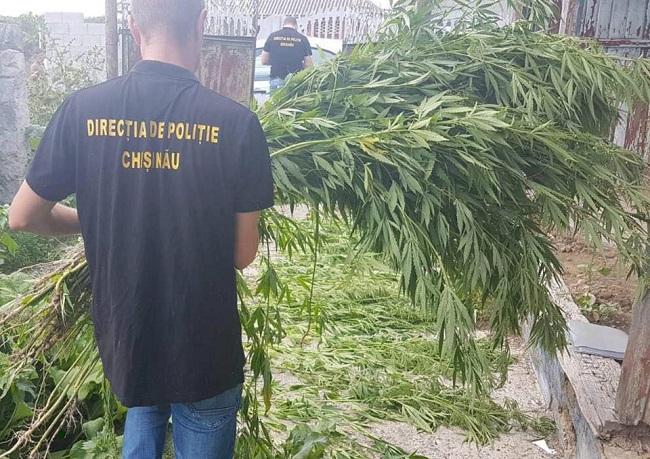 Преступное хобби: житель Будешт культивировал дома около сотни кустов конопли (ВИДЕО)