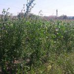 Ботаник-умелец из Трушен выращивал целую конопляную плантацию среди кукурузы (ВИДЕО)