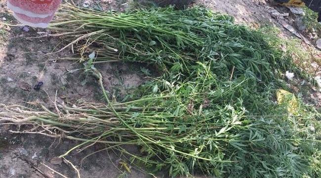 «Ботаник» из Криулян выращивал у себя в огороде более 1 тысячи кустов конопли (ВИДЕО)
