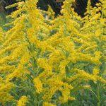 Амброзия вновь будет включена в перечень запрещенных растений в Молдове