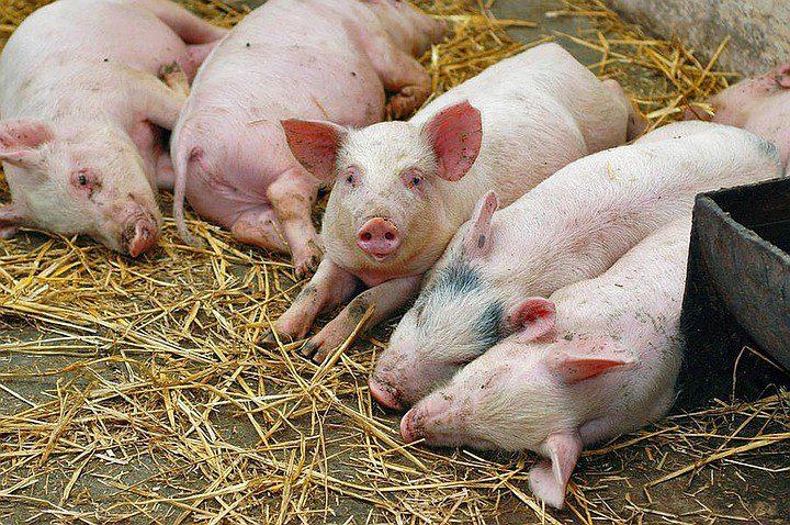 Тревожная ситуация в стране в связи с африканской чумой свиней: вирус активно распространяется