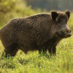 С 29 сентября в Молдове разрешена охота на кабана