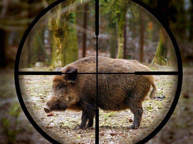 Сезон охоты на диких кабанов, лис и шакалов в Молдове будет продлен в рамках борьбы с АЧС