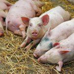 В Молдове подтверждены три новых случая африканской чумы свиней