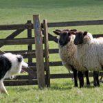 Замужество или рабство: юную жительницу Каушан украли из овчарни, где она праздновала свой день рождения (ВИДЕО)