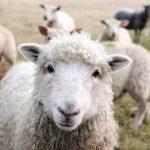 Молчание овец