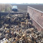 Опасно для молдавского урожая и скота: дикие кабаны тоннами поедают кукурузу на полях (ФОТО)