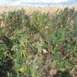 В кукурузных плантациях Фалештского района найдена конопля на 1,2 миллиона леев