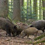 В Молдове открывается сезон охоты на диких кабанов