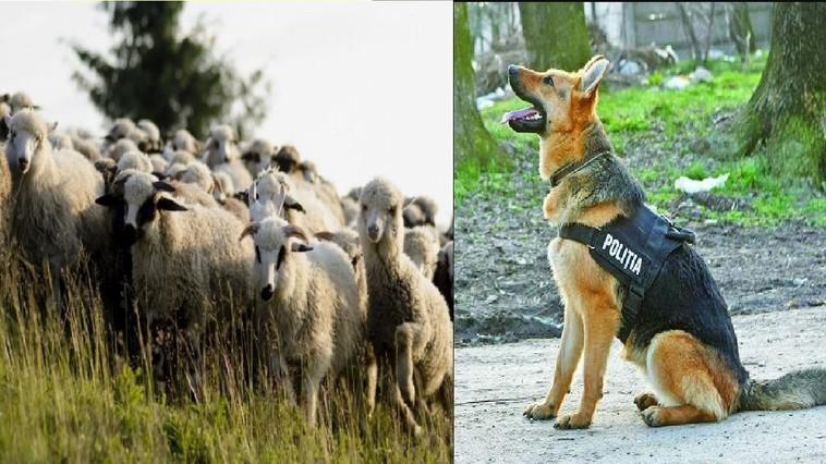 Полиция Хынчешт разыскивает сотню пропавших овец