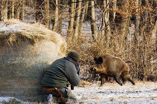 Крупный штраф грозит охотнику, подстрелившему дикого кабана