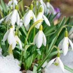 Весна идёт: во многих дворах расцвели подснежники