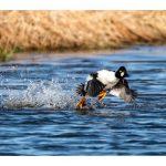 В Молдове зарегистрировано 78 видов водоплавающих птиц