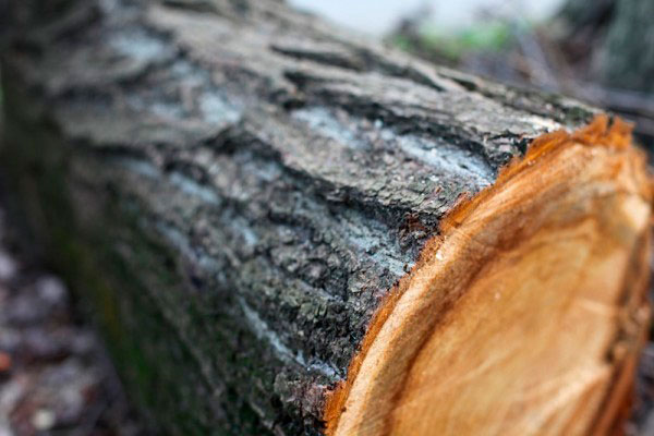 Жителю Слободзейского района грозит штраф за незаконную вырубку деревьев