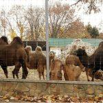 После семилетнего перерыва в зоопарке Кишинёва родился верблюжонок