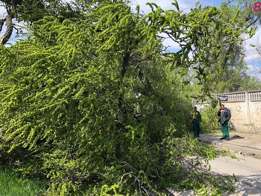 Сильный ветер повалил огромное дерево на Чеканах (ФОТО, ВИДЕО)