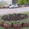 Вандалы вырвали тюльпаны из клумбы на Ботанике