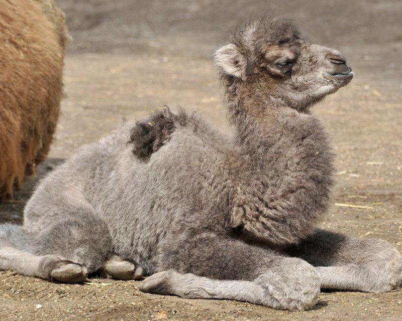 Дружелюбный и весьма прожорливый: как поживает малыш-верблюжонок в столичном зоопарке (ВИДЕО)