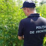 В Сорокском районе пограничники обнаружили плантацию конопли (ФОТО)
