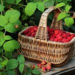 В Молдове стартовал сезон малины