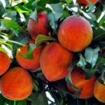 На прилавках появились первые молдавские персики: сколько они стоят
