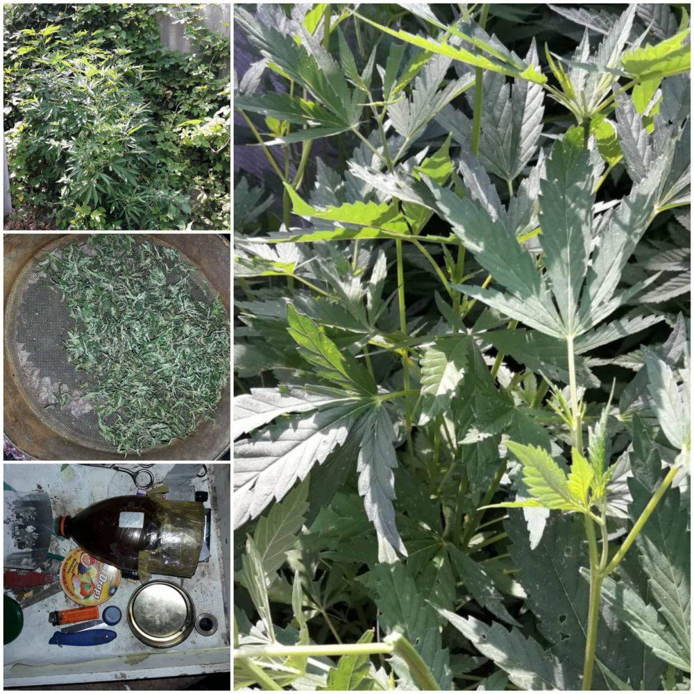 Почти 300 кустов марихуаны нашли полицейские в огороде жителя Вадул-луй-Водэ (ВИДЕО)