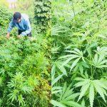 В огороде жителя Чекан нашли и выкопали 48 кустов конопли (ВИДЕО)