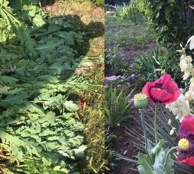 Жительница Яловен выращивала в своём огороде более 70 кустов мака: полиция изъяла растения (ВИДЕО)