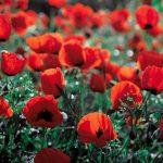 Жительнице Дубоссар грозит уголовное дело за кусты мака в огороде