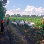 Пропавших несколько дней назад коз нашли в кукурузном поле: они прошли порядка 8 км (ФОТО)