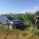 Пограничники выявили насаждения конопли в Бричанах и вблизи границы (ФОТО)