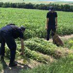 В приграничной зоне обнаружены три плантации дикорастущей конопли (ФОТО)