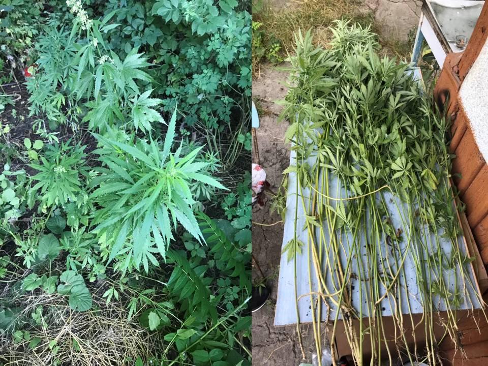 Полсотни кустов конопли выращивал житель Кишинёва у себя во дворе (ВИДЕО)