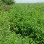На Чеканах нашли плантацию конопли: полицейские изъяли 200 кустов наркосодержащих растений (ВИДЕО)