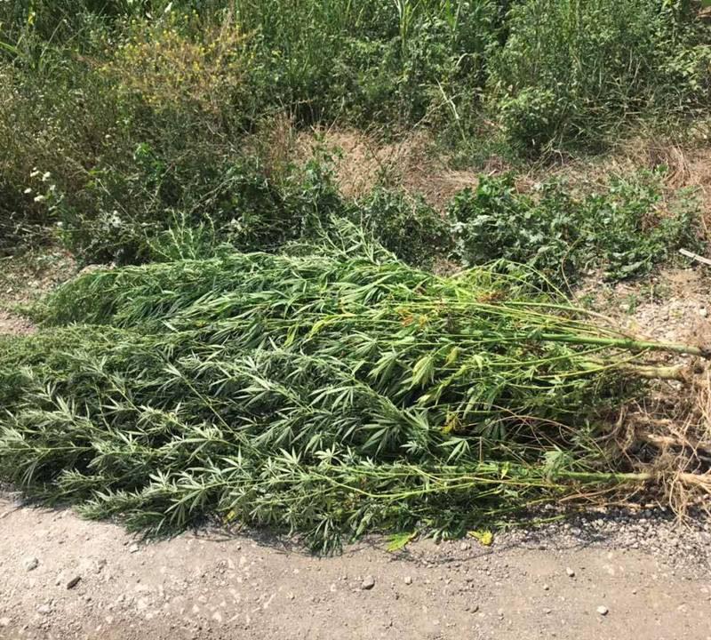 18 кустов конопли обнаружили полицейские в кукурузном поле в Трушенах (ВИДЕО)