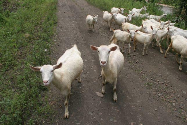 В Каменском районе несколько дней ищут пропавшее стадо коз