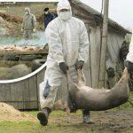 В трёх районах страны зафиксировано 9 вспышек АЧС: более 180 свиней забиты