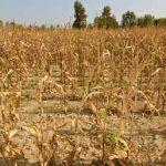 Жара в Молдове: аграрии несут огромные убытки из-за засухи (ВИДЕО)